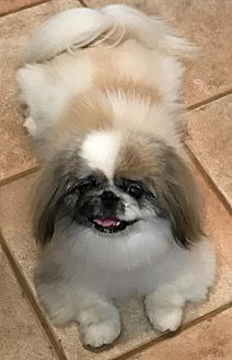 Pekingese Dog for adoption in Simi Valley, California - Mindy