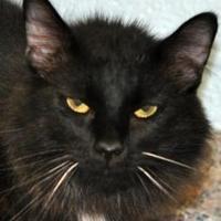 Domestic Shorthair/Domestic Shorthair Mix Cat for adoption in Tilton, Illinois - Ozzie