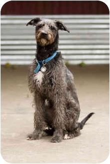 Wheaten Terrier/Scottish Deerhound Mix Dog for adoption in Portland, Oregon - Kiki