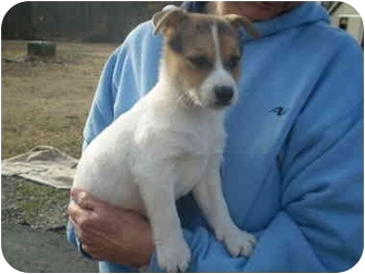 Jack Russell Terrier/Feist Mix Puppy for adoption in Braintree, Massachusetts - Ollie