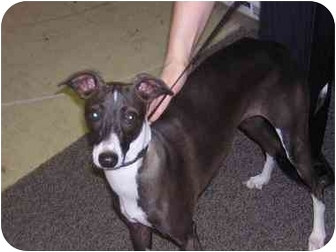 Italian Greyhound Dog for adoption in Hendersonville, Tennessee - Oilive