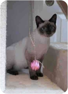 Siamese Kitten for adoption in Davis, California - Tsuki