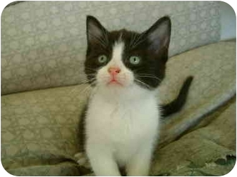 Domestic Shorthair Kitten for adoption in Etobicoke, Ontario - kittens