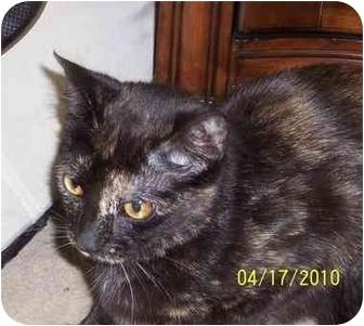 American Shorthair Cat for adoption in Alexandria, Virginia - Lenore