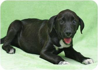 Labrador Retriever Mix Puppy for adoption in Westminster, Colorado - ARLISS
