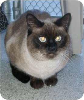 Siamese Cat for adoption in Grants Pass, Oregon - Kahlua