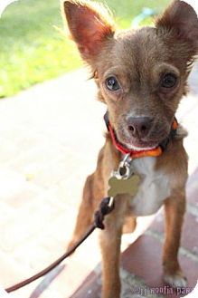 Chihuahua/Spaniel (Unknown Type) Mix Puppy for adoption in Woodland Hills, California - Colby Jack