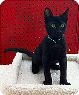 Domestic Shorthair Kitten for adoption in Sugar Land, Texas - -Pepper
