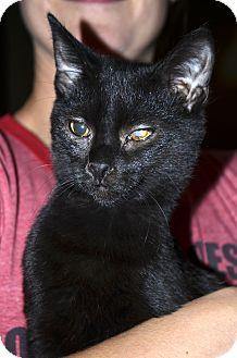 Domestic Shorthair Cat for adoption in Xenia, Ohio - Maxine