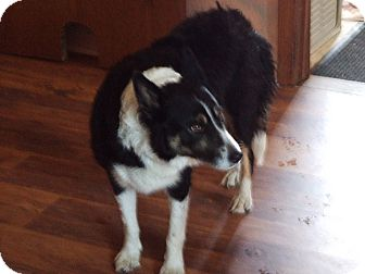 Border Collie Dog for adoption in Sheboygan, Wisconsin - Lacey