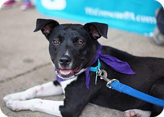 Boston Terrier Mix Dog for adoption in Kimberton, Pennsylvania - Tilly