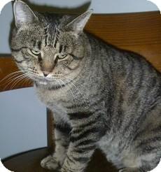 Domestic Shorthair Cat for adoption in Hamburg, New York - Wayne Gretzky