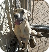 Black Mouth Cur Mix Dog for adoption in Silver City, New Mexico - Corina