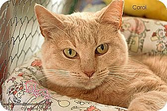 Domestic Shorthair Cat for adoption in St Louis, Missouri - Carol