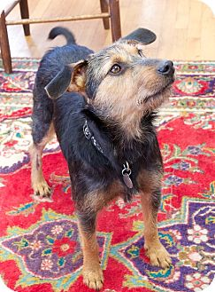 Terrier (Unknown Type, Medium) Mix Dog for adoption in Nashville, Tennessee - Harley