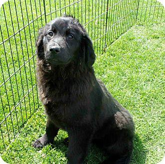 Labrador Retriever/Golden Retriever Mix Puppy for adoption in Liberty Center, Ohio - Midnight
