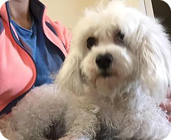 Maltese Dog for adoption in Mount Royal, New Jersey - Maggie