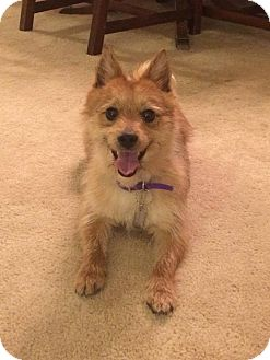 Norwich Terrier/Pomeranian Mix Dog for adoption in West Allis, Wisconsin - Maximilian