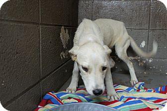 Labrador Retriever Mix Puppy for adoption in Henderson, North Carolina - Buttercup*