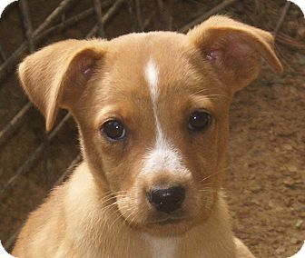 Labrador Retriever Mix Puppy for adoption in Spring Valley, New York - Candy