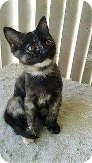 Domestic Shorthair Kitten for adoption in Fountain Hills, Arizona - HONEY