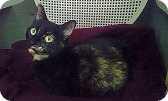 Domestic Shorthair Cat for adoption in Savannah, Georgia - Lori