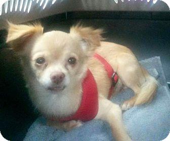 Chihuahua/Pomeranian Mix Dog for adoption in Festus, Missouri - #39 Clydie in Missouri