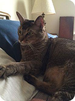 Oriental Cat for adoption in Rowlett, Texas - Cairo