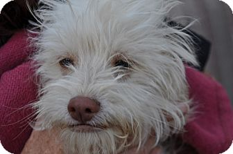 Maltese/Poodle (Miniature) Mix Puppy for adoption in Palmdale, California - Chico