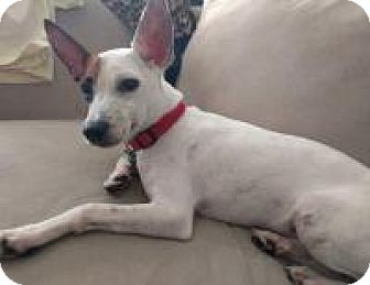 Rat Terrier Mix Puppy for adoption in New Smyrna Beach, Florida - Harry