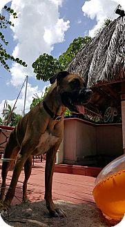 Boxer/Bullmastiff Mix Dog for adoption in Hollywood, Florida - BORIS