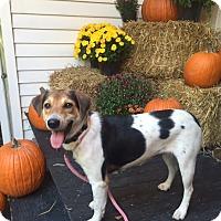 Sheltie, Shetland Sheepdog/Beagle Mix Dog for adoption in Norwalk, Connecticut - Meringue