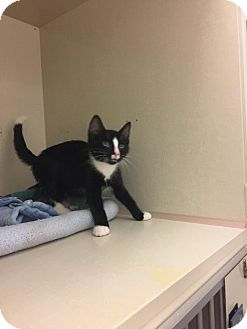 Domestic Shorthair Kitten for adoption in Westbury, New York - Theo