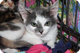 Domestic Shorthair Kitten for adoption in Alamo, California - Patty