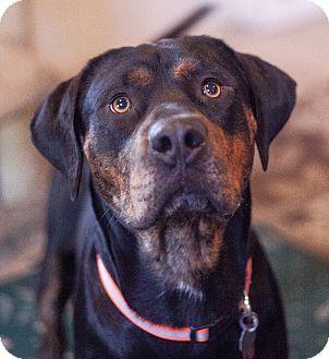 Rottweiler/Hound (Unknown Type) Mix Dog for adoption in Pittsburg, Kansas - Buddy