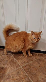 Domestic Mediumhair Cat for adoption in Hampton, Virginia - Ginger (Courtesy Listing)