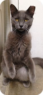 Russian Blue Cat for adoption in Houston, Texas - Sweetie Pie
