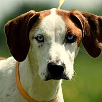Hound (Unknown Type) Mix Dog for adoption in Morganville, New Jersey - June