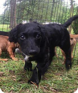 Dachshund Puppy for adoption in Texarkana, Texas - Too Cute in Texarkana, TX