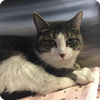 Adopt A Pet :: BooBoo - Bridgewater, NJ