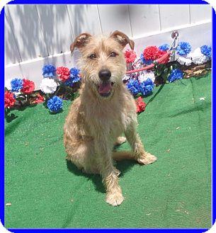 Lakeland Terrier Mix Puppy for adoption in Marietta, Georgia - SCOTTY