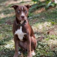 Adopt A Pet :: Burro - Eugene, OR