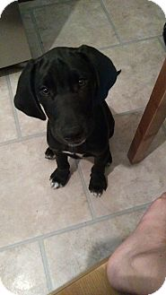 Great Dane/Labrador Retriever Mix Puppy for adoption in Warsaw, Indiana - Duke