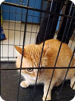 Domestic Shorthair Cat for adoption in Henderson, Kentucky - Mrs. Belvedere
