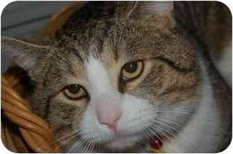 Domestic Shorthair Cat for adoption in Cincinnati, Ohio - Buttons