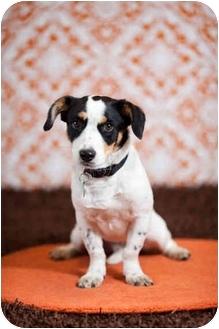 Corgi/Jack Russell Terrier Mix Dog for adoption in Portland, Oregon - Moe