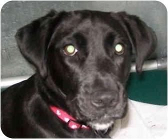 Labrador Retriever/Retriever (Unknown Type) Mix Dog for adoption in Marseilles, Illinois - Tootsie