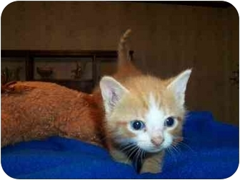 Domestic Shorthair Kitten for adoption in Frenchtown, New Jersey - Alex