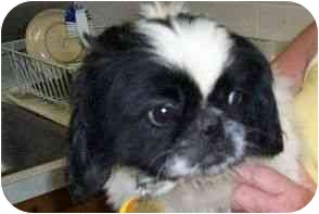 Pekingese Dog for adoption in Richmond, Virginia - Cookie ADOPTED !!!
