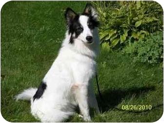 Border Collie/Papillon Mix Dog for adoption in Watertown, South Dakota - Shaina